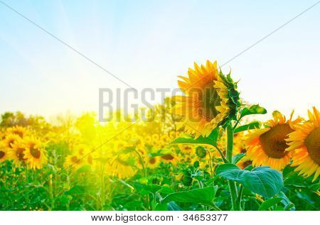 beautiful sunflowers at field