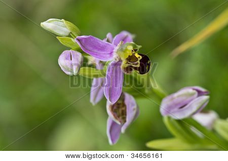 Bee Orchid (orchis Apifera)