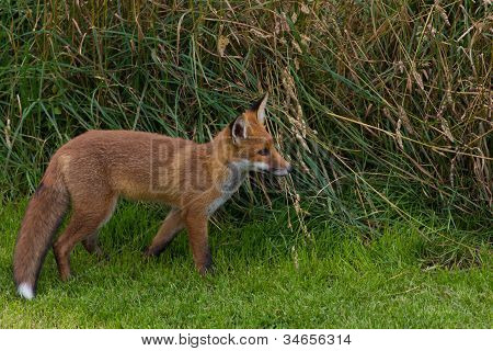 Red Fox (vulpes Vulpes Canidae)