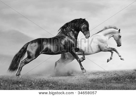 Cavalos Run