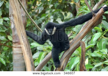 Black Siamang