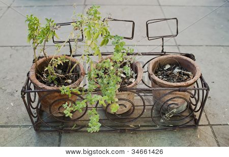 Small potted herb plants