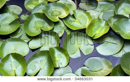 Leaves Of Aquatic Plants