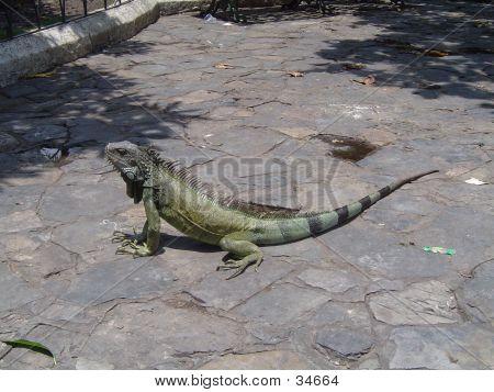 South American Iguanas