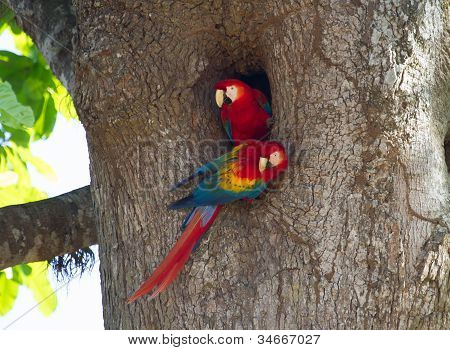 A Pair Of Nesting Scarlet Macaws