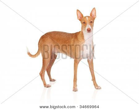 Beautiful spanish hound isolated on white background