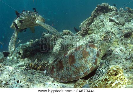 Sipadan Turtles Being Cleaned