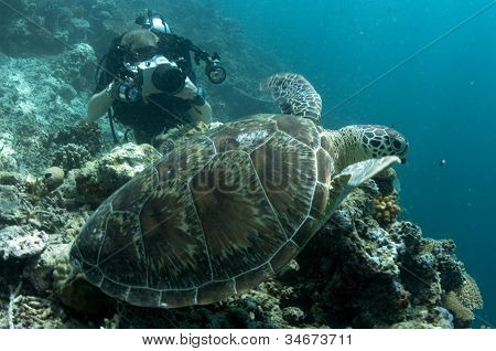 Sipadan Green Turtle Being Photographed