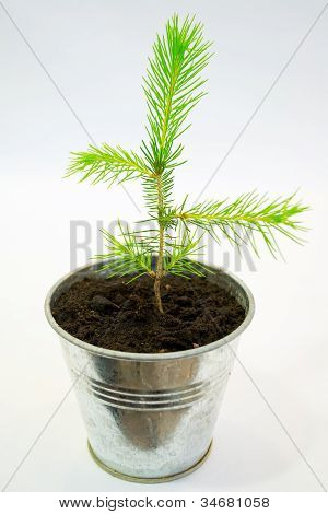 Small Spruce Seedling