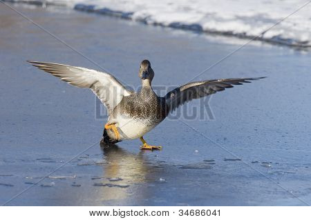 Gadwall slipping on ice