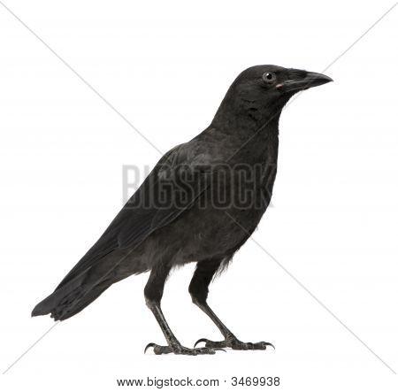Joven Corneja - Corvus Corone (3 meses)