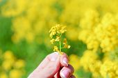 Yellow. Yellow Flower In Hand On A Yellow Field Background. poster