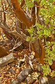 stock photo of xeriscape  - Detail of trunk of Manzanita wood - JPG