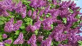 Floral Backdrop Of Luxuriant Bush Of Blooming Purple Lilac Flowers. Lush Violet Pink Color Petals Of poster