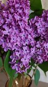 Lilac Blossoms Closeup. Beautiful Spring Blooming Bunch Of Star Shaped Lilac Flowers. Violet Color B poster