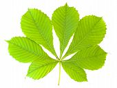 Chestnut Leaf
