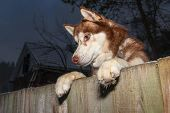 Husky Dog Looks Over The Fence. Siberian Husky Stood On His Hind Legs, Put His Front Paws On The Fen poster