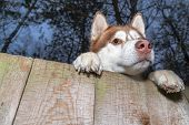Husky Dog Looking Over A Backyard Fence. Siberian Husky Peering Over Wooden Fence. Muzzle And Paws D poster