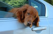 Golden Retriever In Car Window