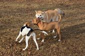 Amstaff Puppy, Akita Inu Puppy And Estonian Hound Puppy Are Playing In The Autumn Park. Pet Animals. poster