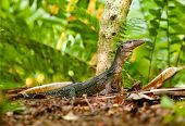 foto of goanna  - goanna lizard in undergrowth - JPG
