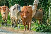 Group Of Cow Herd On Pasture Farm. Cows In Field. Cows On Pasture. poster