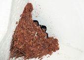 stock photo of loamy  - three baby bird in nest in corner - JPG