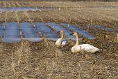 pic of trumpeter swan  - Pair of Adult Trumpeter Swans rsting in a cornfield - JPG