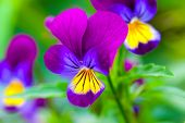 stock photo of viola  - Violas or Pansies Closeup in a Garden - JPG