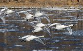 picture of trumpeter swan  - A flock of Trumpeter Swans about ot land in an icy river - JPG