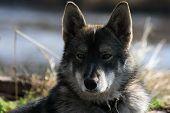 Siberian Hunting Sled Dog Laika, Siberia, Russia, poster
