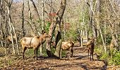 Small Herd Of Elk On A Hiking Path During The Season Of Fall In The Mountains Of North Carolina poster