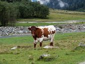 Bull On A Mountain Pasture And Forest poster