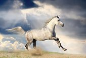 picture of dapple-grey  - stallion in dust against the dramatic skies - JPG