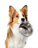 stock photo of herding dog  - dog with empty bowl asking for food - JPG