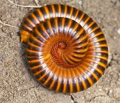stock photo of millipede  - Millipedes curl up for the safety of the enemy - JPG