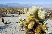 pic of anza  - Cactus blooming in the Anza-Borrego desert in southern California ** Note: Shallow depth of field - JPG