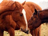 picture of colt  - Chestnut horse nuzzling young brown colt at the field - JPG