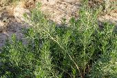 pic of sagebrush  - Closeup detail of the foliage of the Sagebrush  - JPG