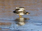 stock photo of gadwall  - Drake Gadwall stretching his wings on thin clear ice - JPG