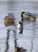 picture of gadwall  - Drake Gadwall feeding with a flock of sleeping Mallards - JPG