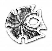 foto of sanddollar  - Black - JPG