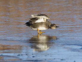 image of gadwall  - Drake Gadwall stretching his wings on thin clear ice - JPG