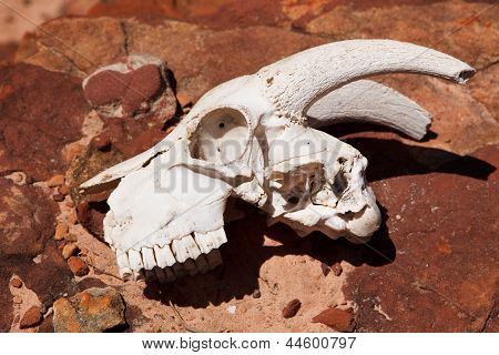Goat Skull On The Rock
