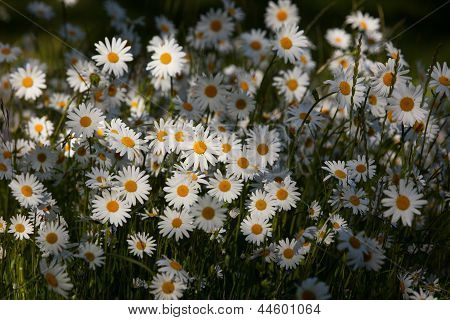 Bunch Of Blooming Daisies
