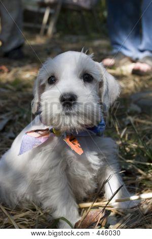 White Mini Schnauzer Pup