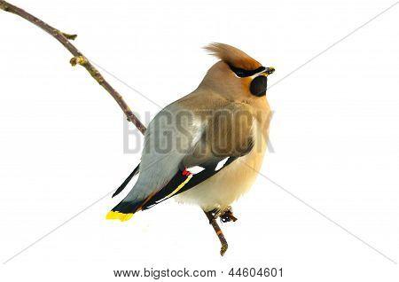 Bird Bohemian Waxwing (bombycilla Garrulus)
