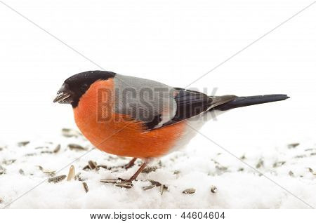 Bird Common Bullfinch (pyrrhula Pyrrhula)