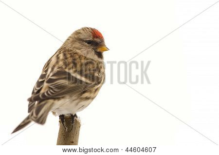 Bird Common Redpoll (carduelis Flammea)