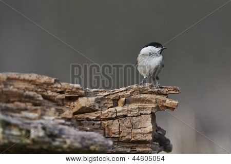 Marsh Tit perching on log